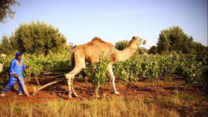 Echappée belle : Vignoble à Essaouira